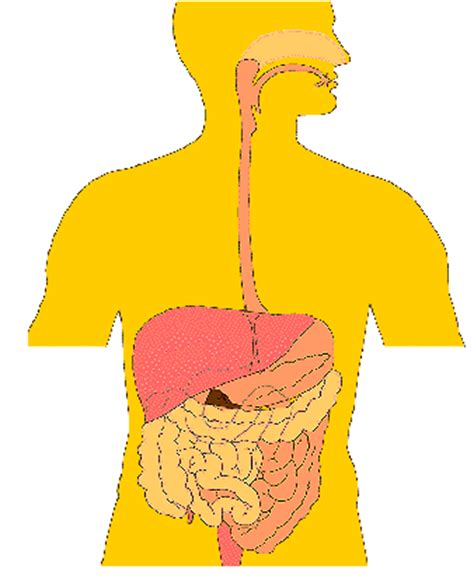 Human Digestive System Essay for Children & Students
